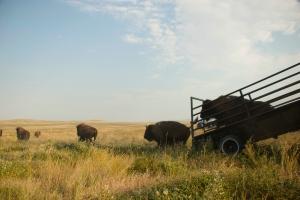 Fort Belknap bison